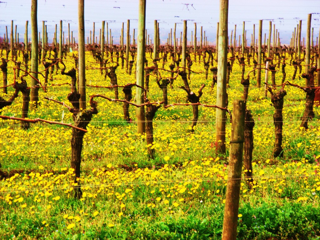 vineyards outside beausejour